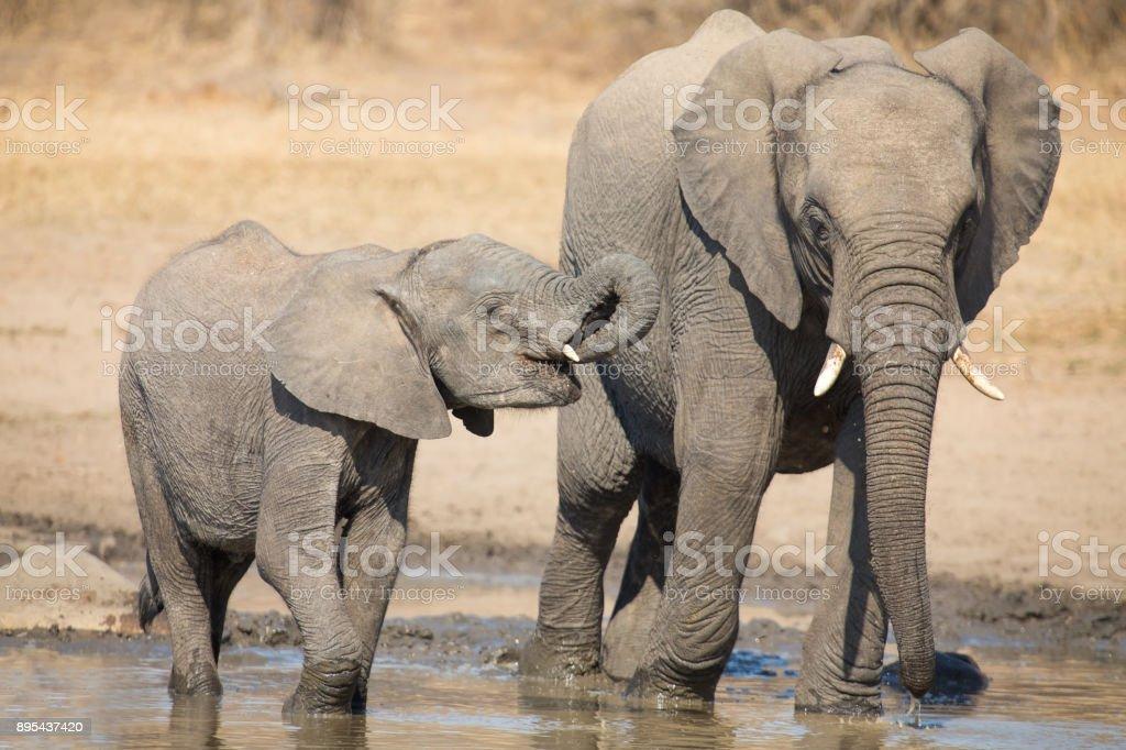 Elefant Kalb Trinkwasser an einem trockenen und heißen Tag – Foto
