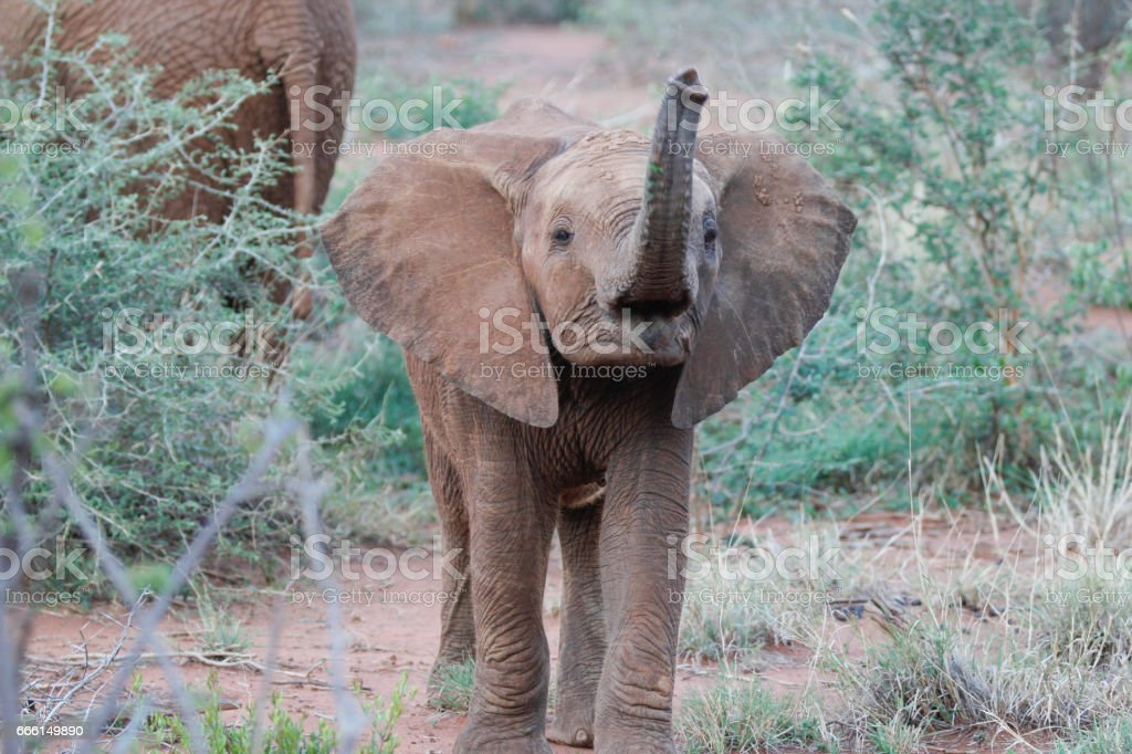 Elephant calf in South Africa stock photo