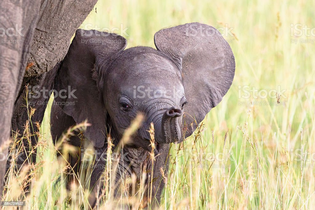 Elephant calf in the grass playing with his trunk stock photo