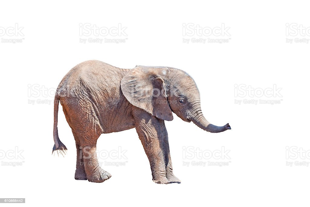 Elephant calf isolated in white stock photo