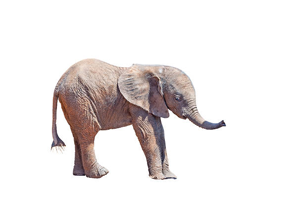 Elephant calf isolated in white A tiny African Elephant calf, Loxodonta africana, isolated in white elephant calf stock pictures, royalty-free photos & images