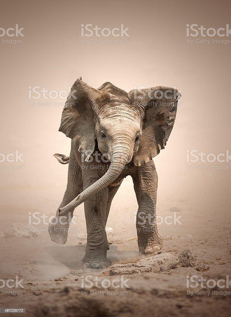Elephant Calf mock charging stock photo