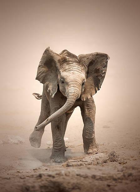 Elephant Calf mock charging Baby Elephant (Loxodonta Africana) mock charging - Etosha National Park (Namibia) elephant calf stock pictures, royalty-free photos & images