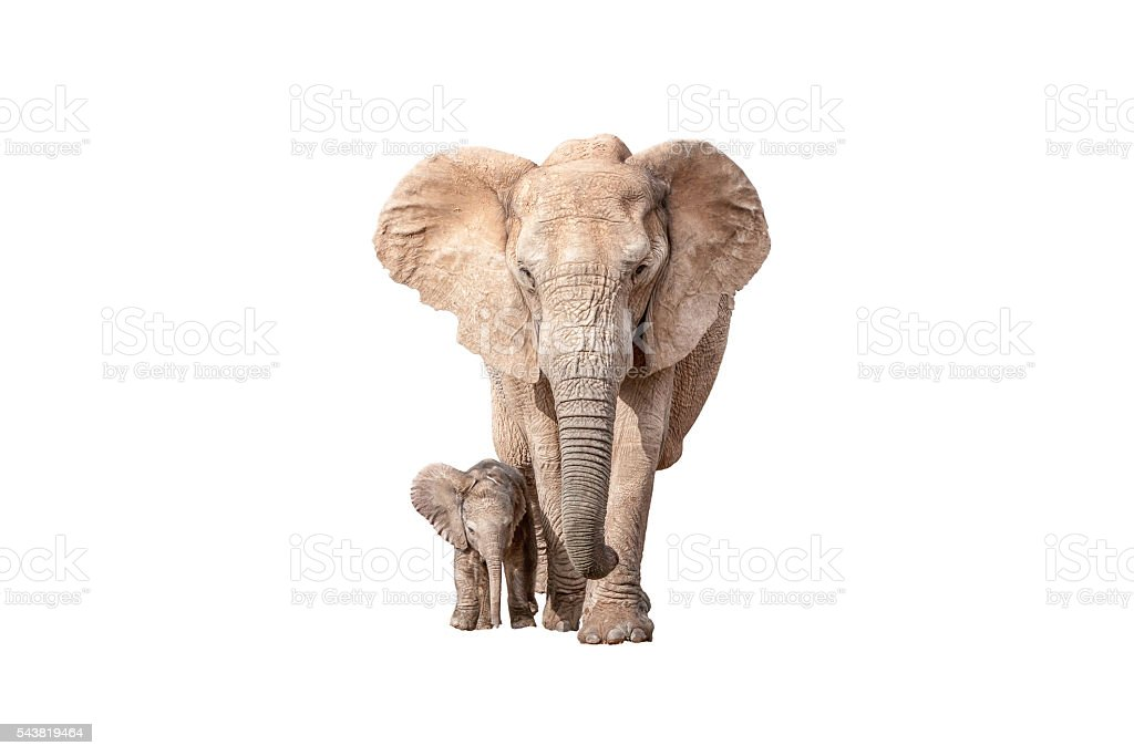 Elephant calf next to its mother isolated on white stock photo