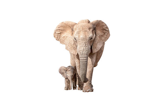 Elephant calf next to its mother isolated on white A tiny elephant calf, Loxodonta africana, walking next to its mother, isolated on white elephant calf stock pictures, royalty-free photos & images
