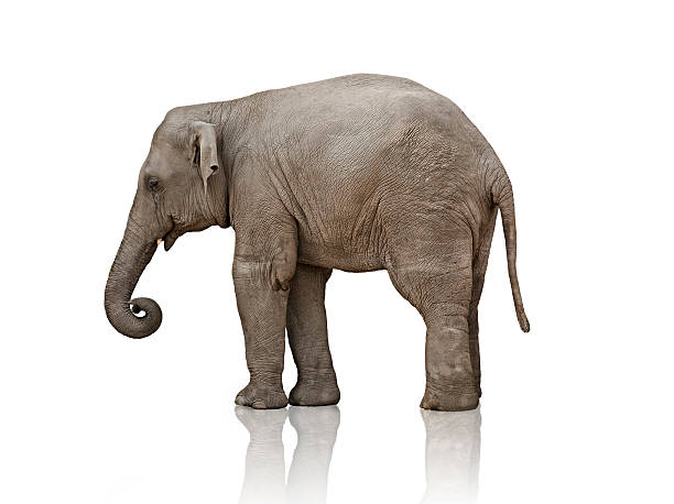 elephant calf  elephant calf stock pictures, royalty-free photos & images