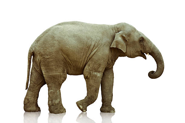 elephant calf elephant calf over white  background photo http://img-fotki.yandex.ru/get/22/z2815.0/0_9d33_c3173829_L elephant calf stock pictures, royalty-free photos & images