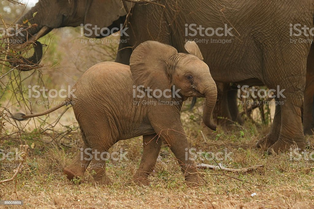 Elephant Calf royalty-free stock photo