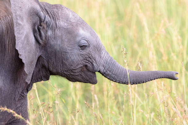 Elephant calf playing with his trunk in the grass Elephant calf playing with his trunk in the grass animal trunk stock pictures, royalty-free photos & images