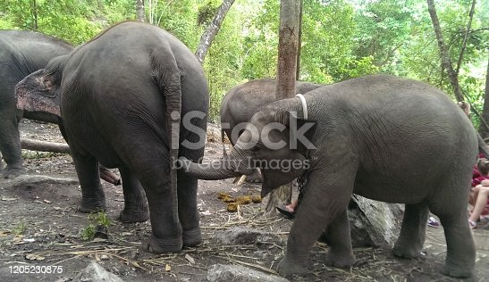Elephant calf putting his trunk on the ass of the big elephant
