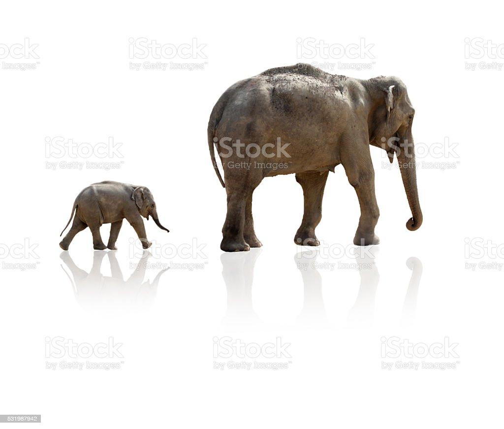 Elephant calf running after mother stock photo