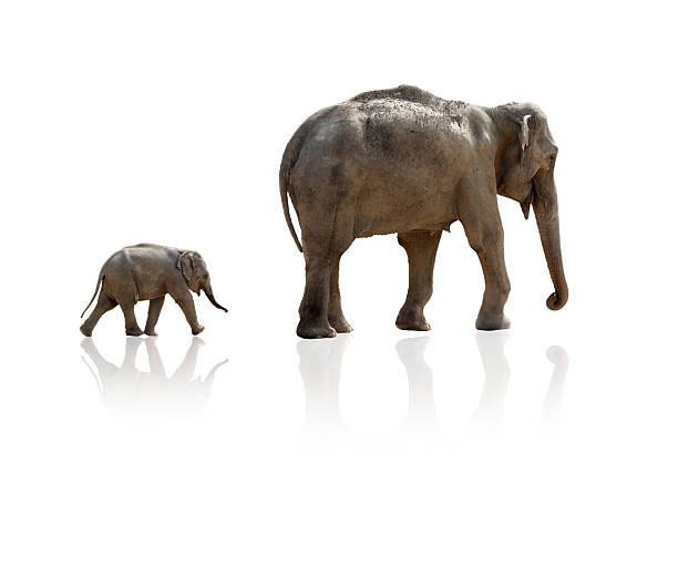 Elephant calf running after mother Elephant calf running after mother, isolated on pure white, including slight reflection on ground elephant calf stock pictures, royalty-free photos & images