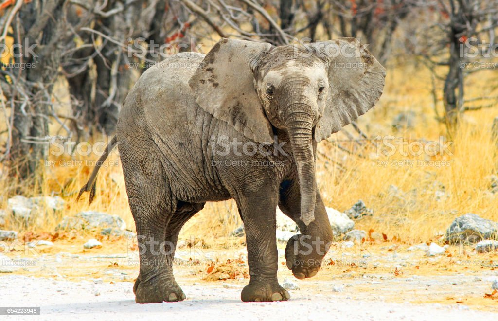 Elephant Calf standing on a dry dirt track with front leg raised looking directly at camera stock photo