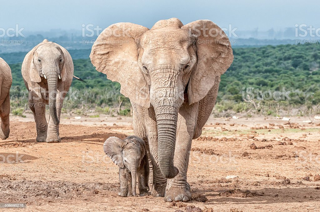 Elephant calf walking next to its mother stock photo