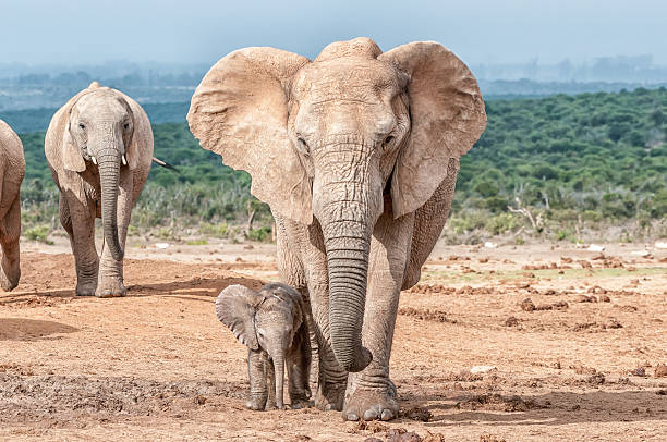 Elephant calf walking next to its mother A tiny elephant calf, Loxodonta africana, walking next to its mother elephant calf stock pictures, royalty-free photos & images