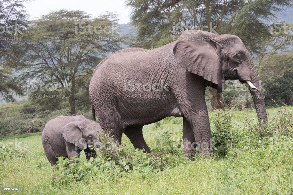 Elephant calf with adult, Ngorongoro Crater, Tanzania foto stock royalty-free