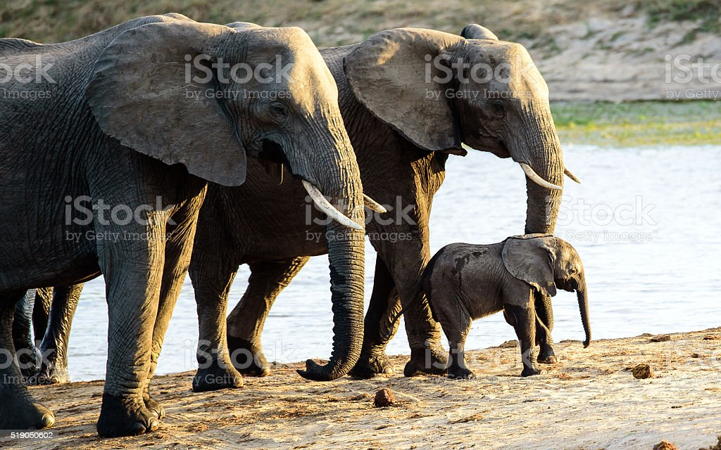 Elephant calf with family security stock photo