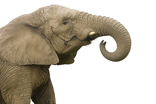 elephant call  animal trunk stock pictures, royalty-free photos & images