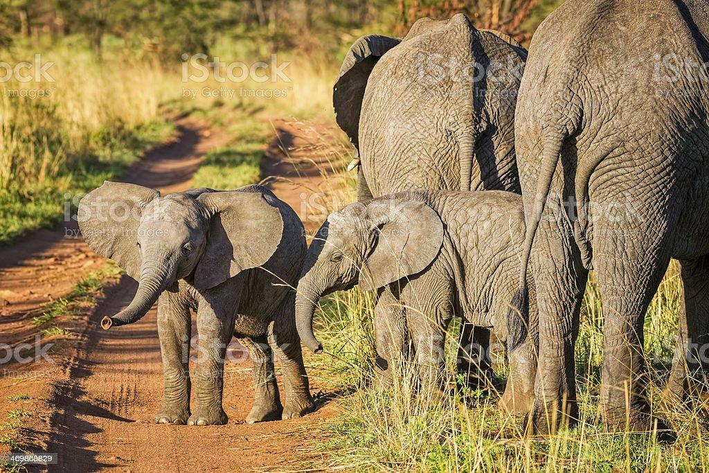 Elephant calves in Serengeti N.P. - Tanzania royalty-free stock photo