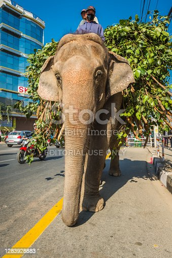 Elephant carrying large load of fodder and two mahouts along a busy road in central Kathmandu, Nepal's vibrant capital city.