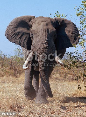 After a few minutes, this bull elephant finally got sick of me and charged the car I was driving.  I got a few shots before reversing the car and getting out of his way.