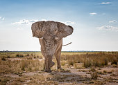 Huge Elephant stomping and charging through the Savannah, Namibia. Converted from RAW.