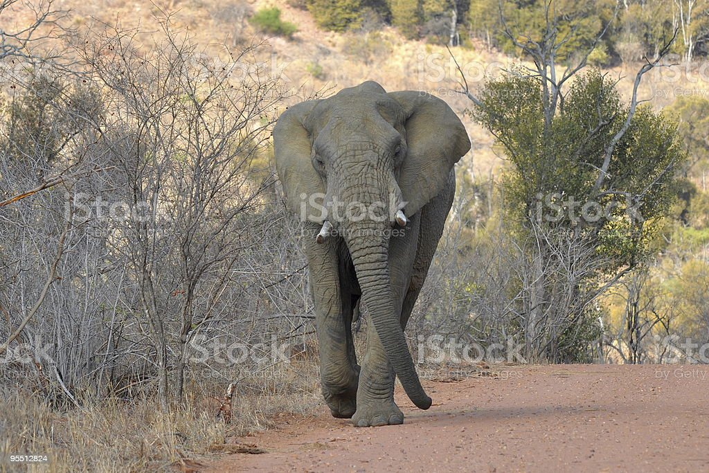 elephant chases the car stock photo