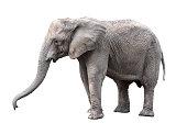 istock Elephant close up. Big grey walking elephant isolated on white background. Standing elephant full length close up. Female Asian elephant. 984303464