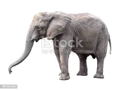 Elephant close up. Big grey walking elephant isolated on white background. Standing elephant full length close up. Female Asian elephant.