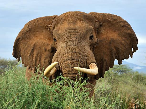 Elephant close-up, great ears stock photo