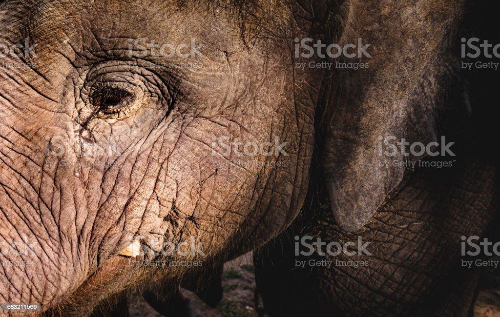 大象的眼睛和麵部的特寫肖像 免版稅 stock photo