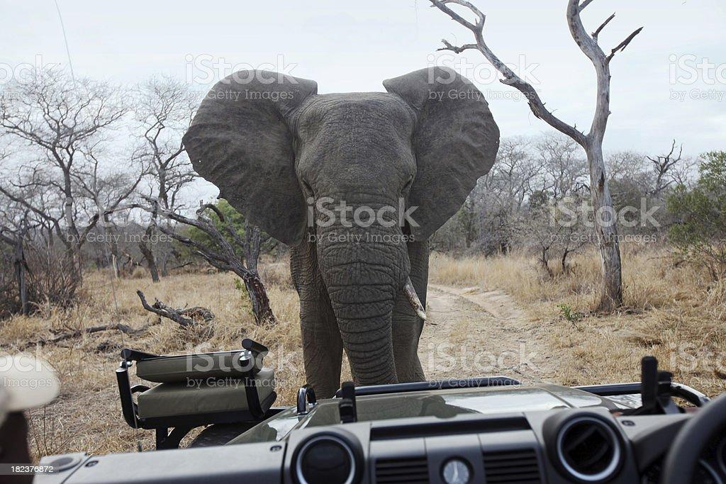 Elephant Confronting Safari Vehicle stock photo