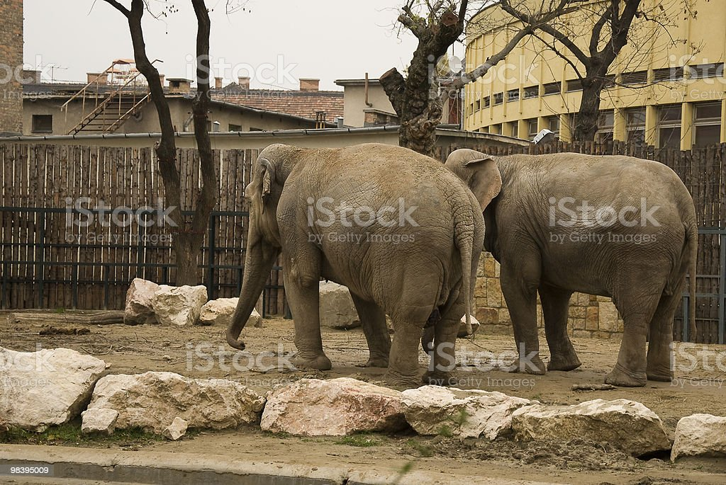 Elephant couple royalty-free stock photo