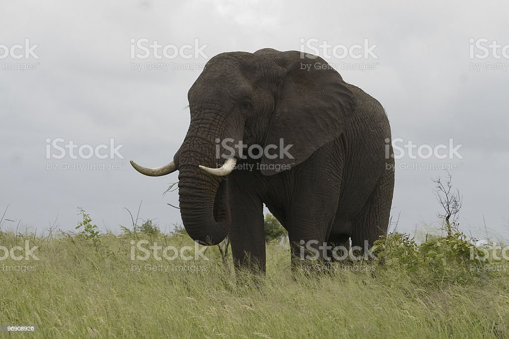 Elephant cow 4142 royalty-free stock photo