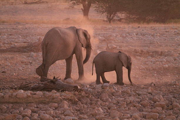 Elephant cow and calf kicking up dust stock photo