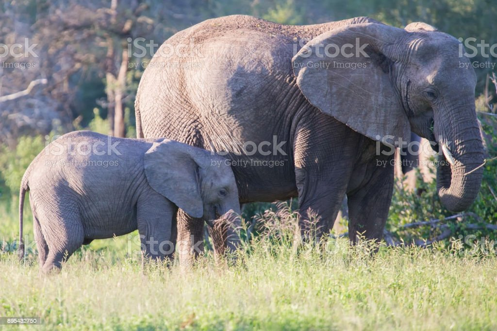 Elephant cow and small calf feeding on long green grass stock photo