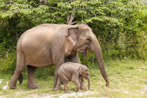 Elephant cow walking with baby elephant in Yala National Park stock photo