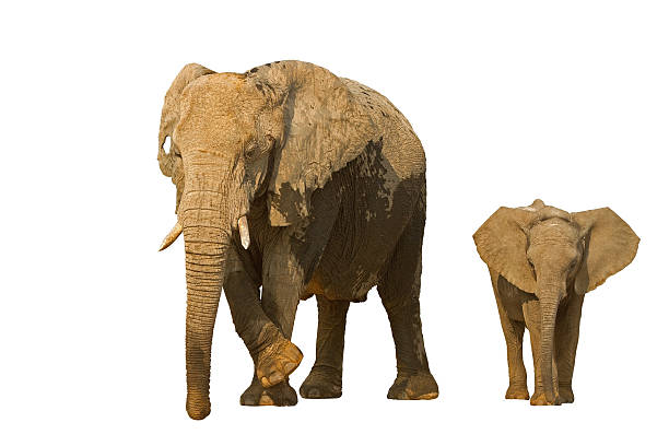Elephant cow with baby Elephant cow with baby against a white background; Loxodonta africana elephant calf stock pictures, royalty-free photos & images