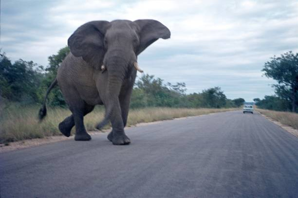 elephant crosses a road, south africa - wildlife conservation stock photos and pictures