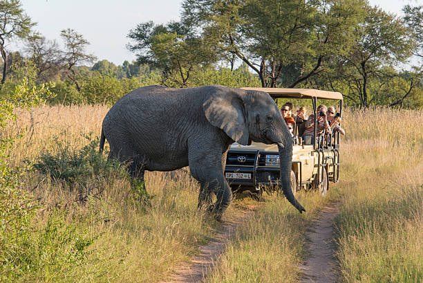 Elephant crossing in front of a safari jeep Entabeni, South Africa - April 21, 2014: Tourists a in a safari vehicle at the savannah, watching an elephant crossing the road. kruger national park stock pictures, royalty-free photos & images