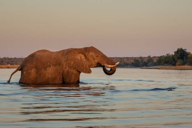 Elephant crossing the Chobe River, Botswana, Africa stock photo