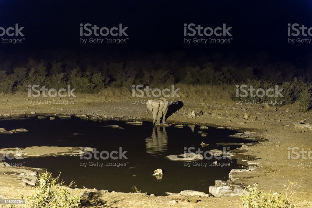 Elephant drinking water at artificially lit waterhole after sunset royalty-free stock photo