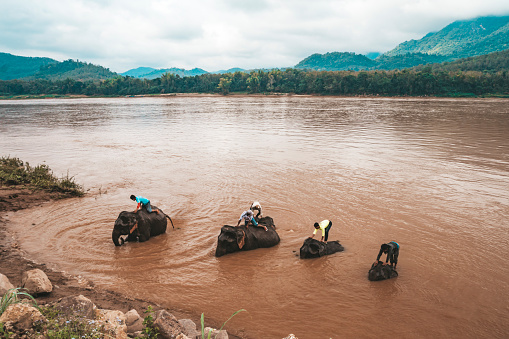 istock Elephant drivers wash, bathe their animals in the Mekong river. 1165422254