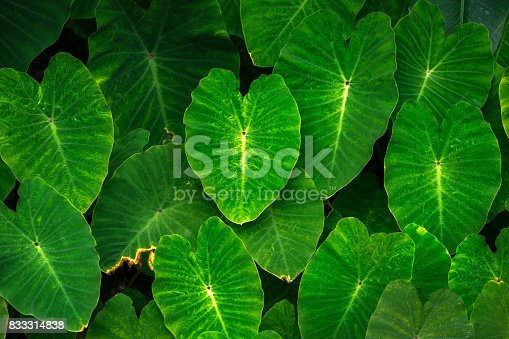 Background of green Elephant Ear leaves (Colocasia)