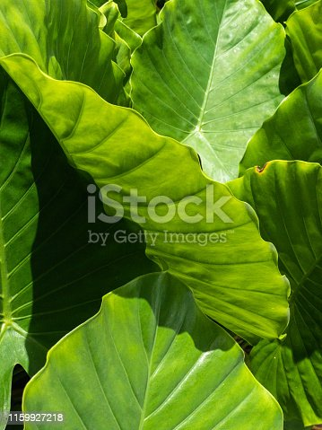 Close-up of elephant ear plant outdoors