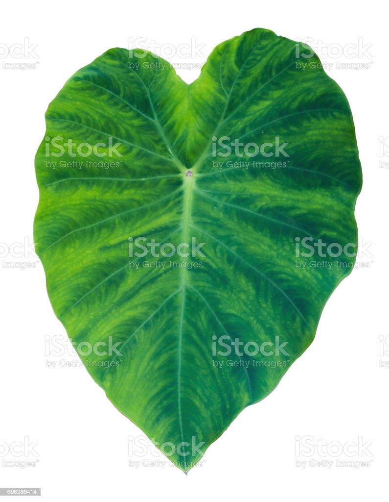 Elephant Ear Taro Leaf stock photo