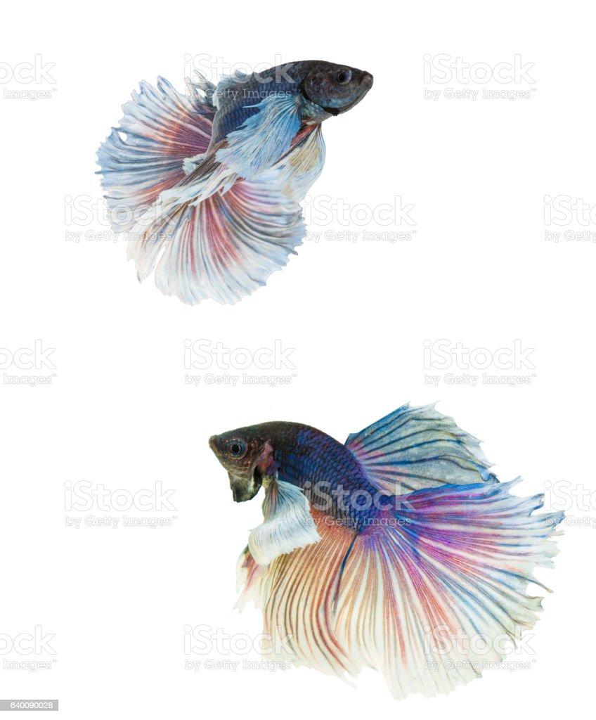 Elephant Ears Betta Fish Blue And White Halfmoon Betta Stock Photo ...