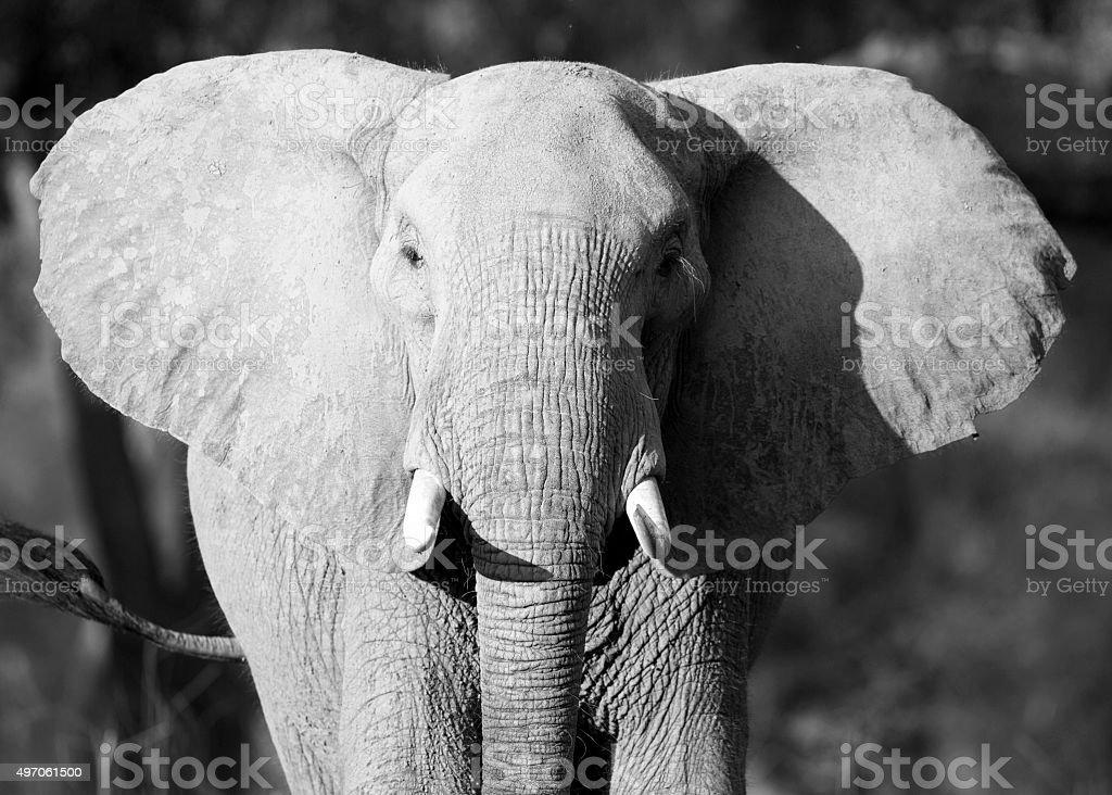 Elephant Ears Stock Photo Download Image Now Istock