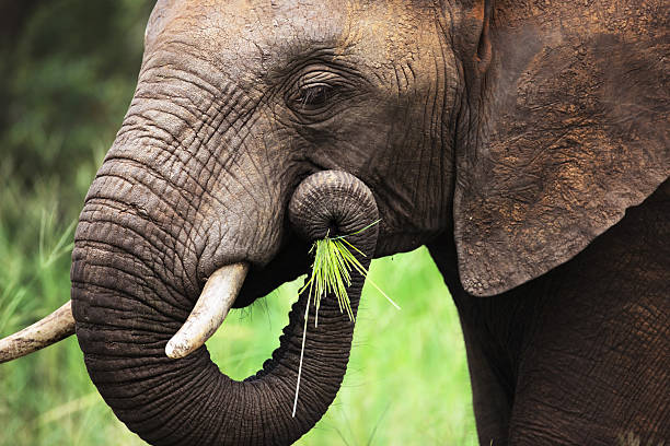 Elephant eating close-up Close-up of a African Elephant eating green grass; Loxodonta Africana animal trunk stock pictures, royalty-free photos & images