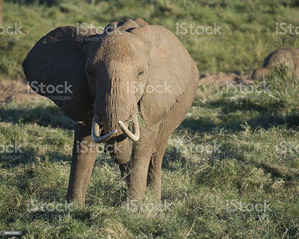 Elephant (Loxodonta africana) Eating, Kenya. royalty-free stock photo